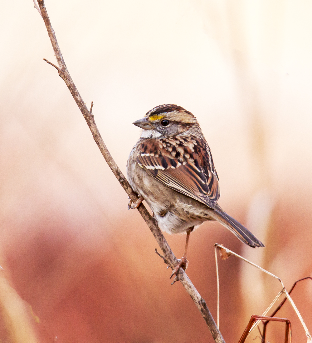 Beautiful Sparrow Mike Powell