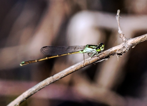 Fragile Forktail