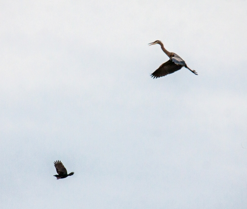 heron and crow