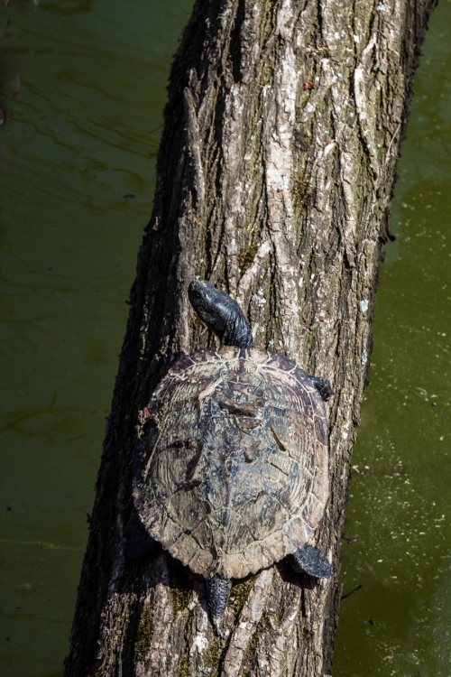 turtle in a tree