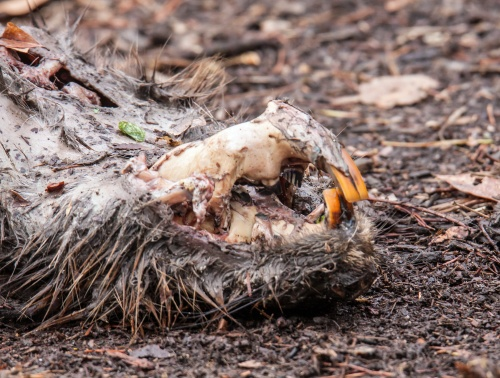 death of a beaver