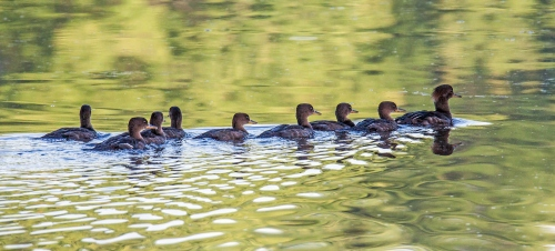 mama merganser and babies