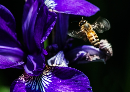 bee and iris