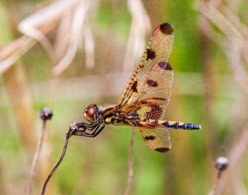female Calico Pennant