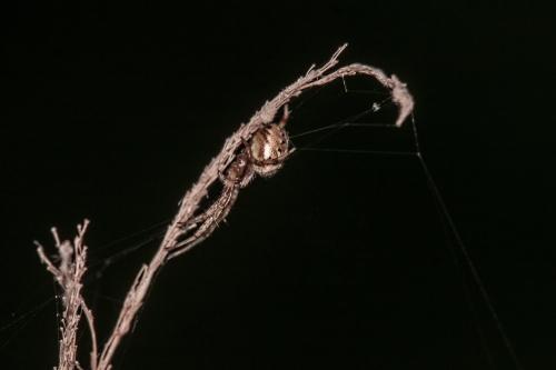 dramatic spider