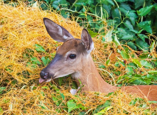 deer and dodder