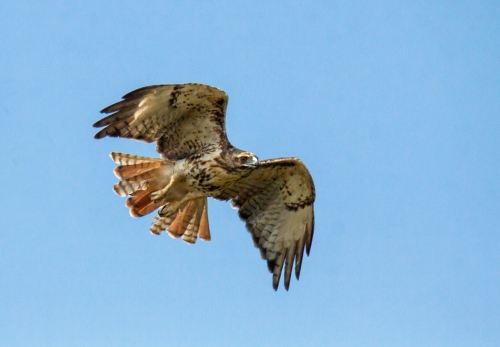 Red-taile Hawk