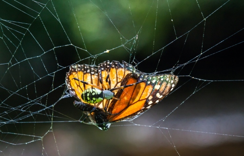 spider and Monarch