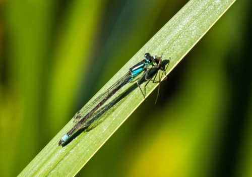 damselfly in Brussels