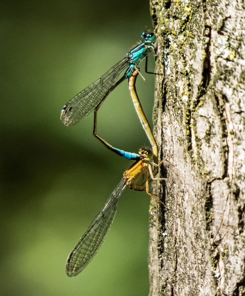 mating damselflies in Brussels