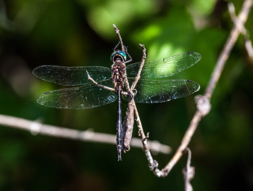 Fine-lined Emerald