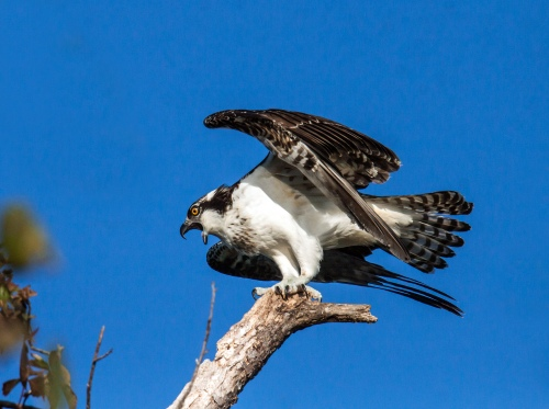 screaming osprey