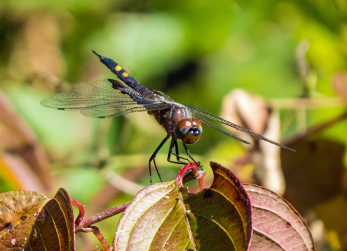 black saddlebags