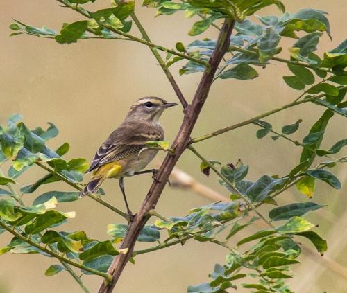Palm Warbler
