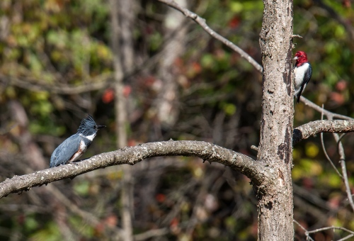 Belted Kingfisher and Red-headed Woodpecker