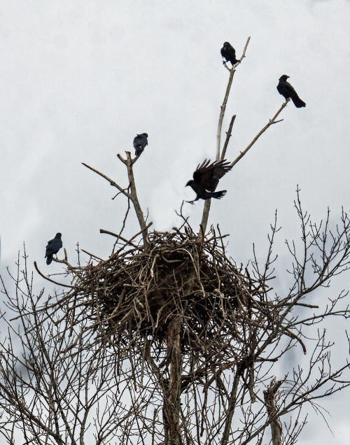 crows on nest