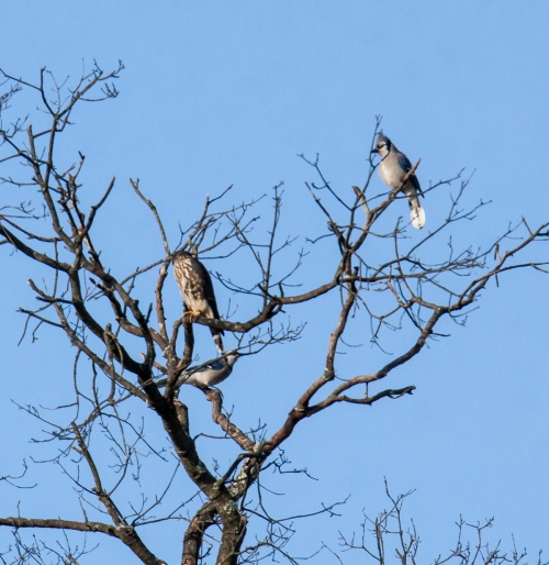 blue jays and merlin