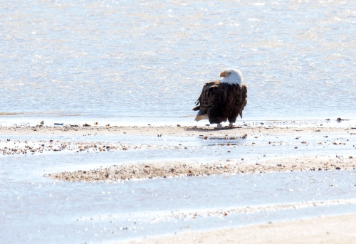 Bald Eagle at the beach
