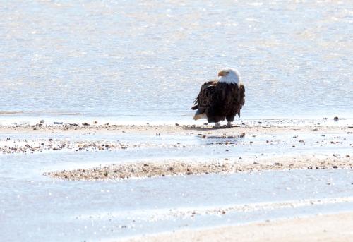 Bald Eagle at the beach