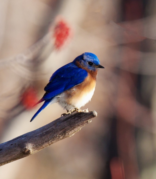 Eastern Bluerbird