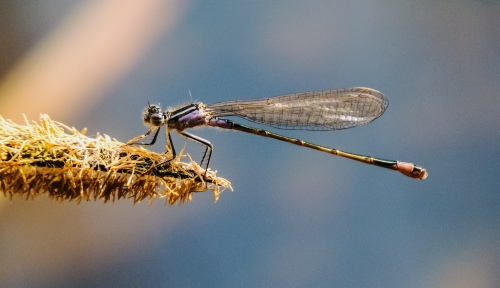 damselfly in Vienna