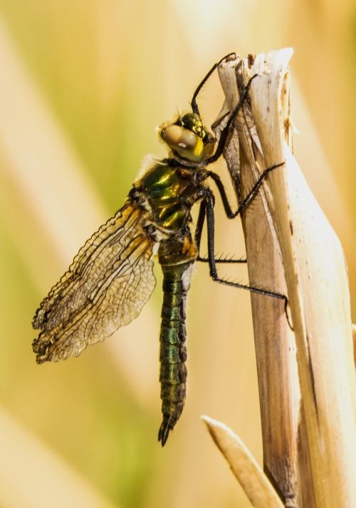 dragonfly in Vienna