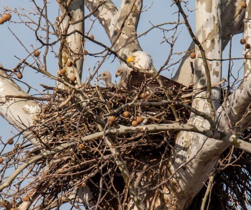 Bald Eagle babies