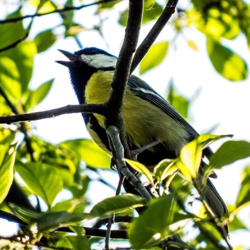 singing bird in Vienna