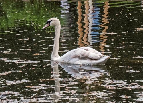 swan in Vienna
