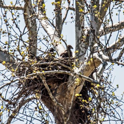 Bald Eagle eaglets