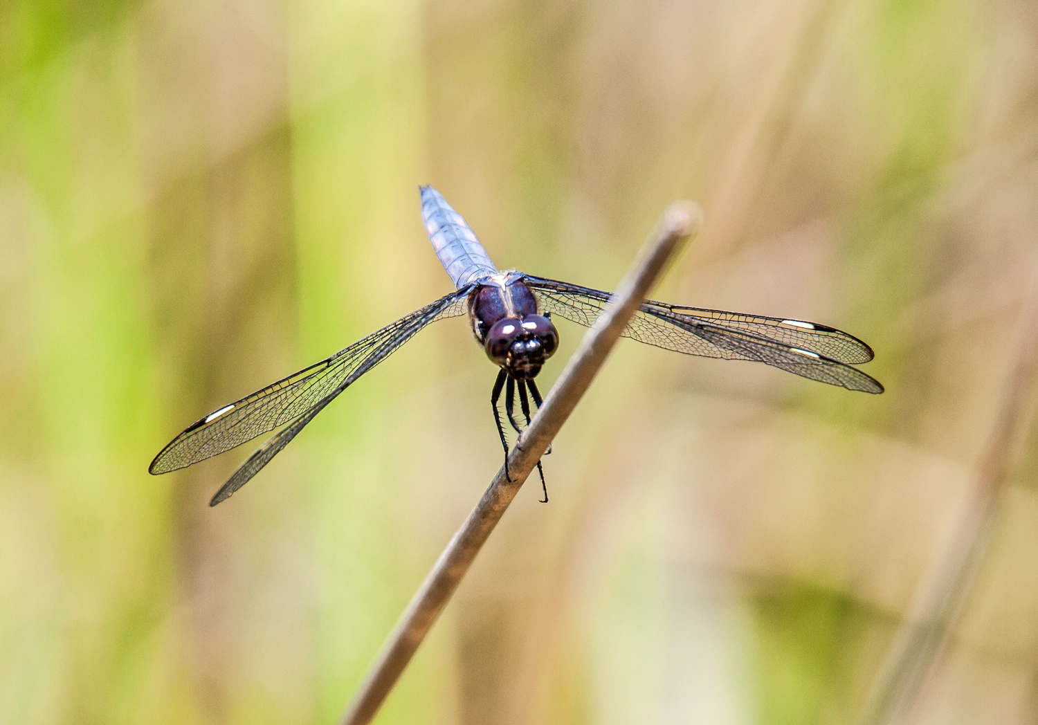 Spangled Skimmer dragonfly | Mike Powell - photo#40