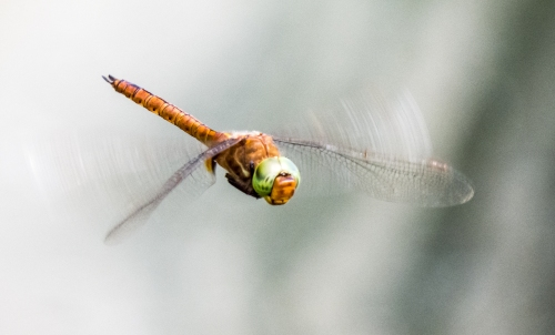 Green-eyed Hawker