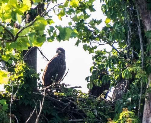 Bald Eagle eaglet