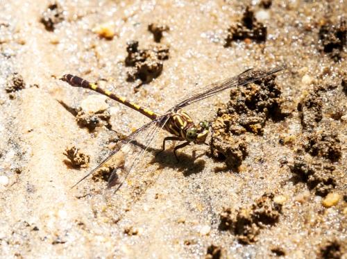 Common Sanddragon