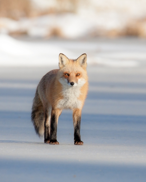 fox on frozen pond