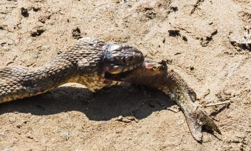 snake versus fish