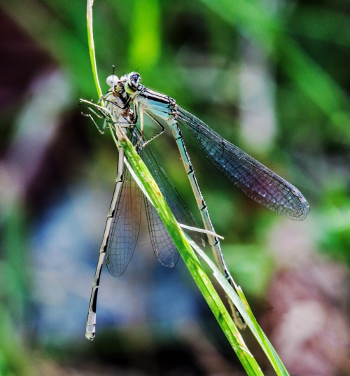 daamselflies