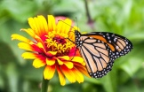 Monarch butterfly and Zowie Zinnia