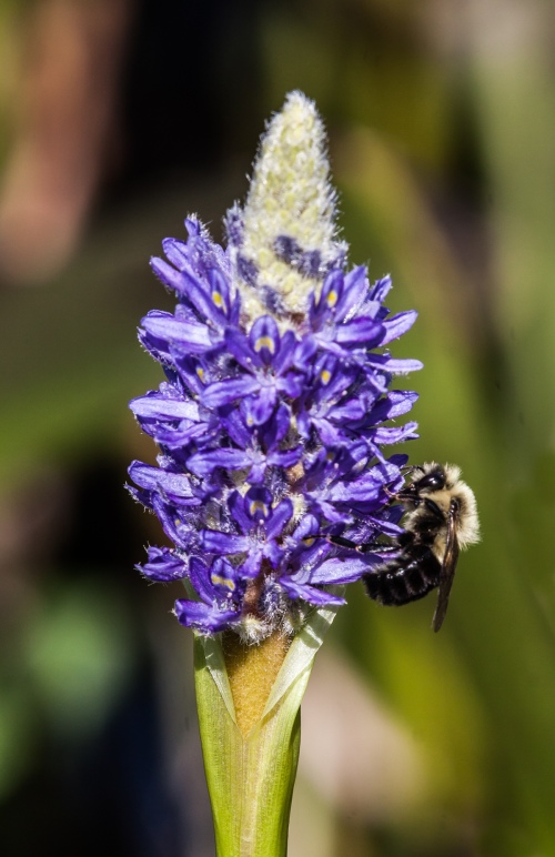 bee and pickerelweed