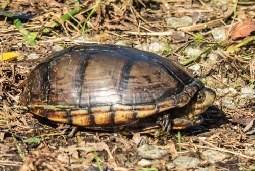 Southeastern Mud Turtle