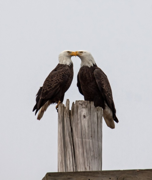 kissing eagles