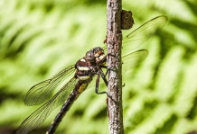 Arrowhead Spiketail Closeup 1
