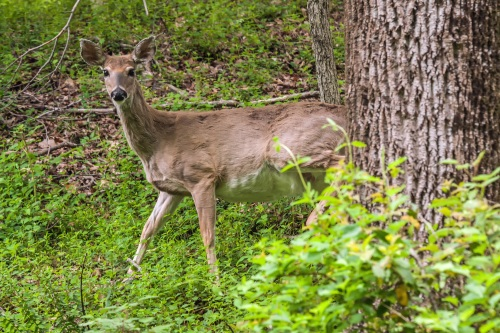Whiite-tailed Deer