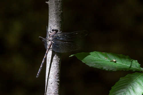Gray Petaltail