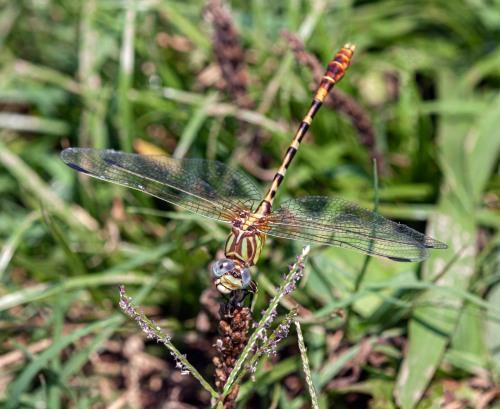 Eastern Ringtail