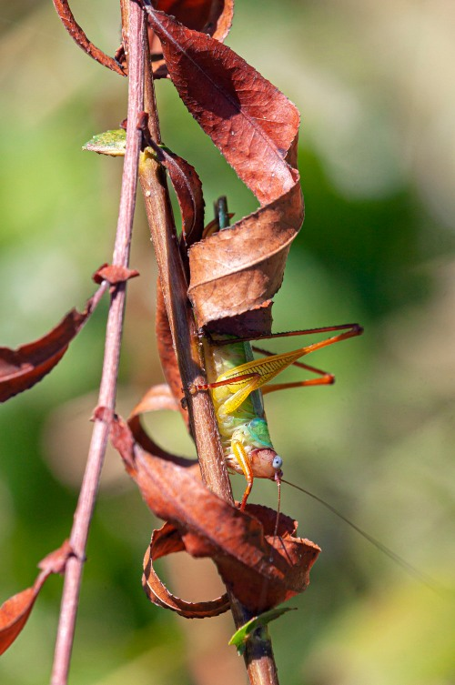 Handsome Meadow Katydid