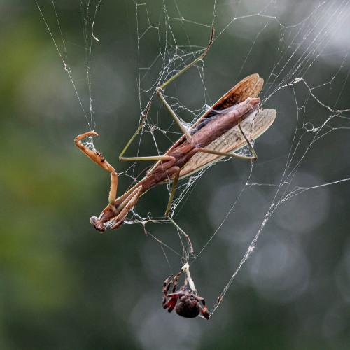 mantis versus spider