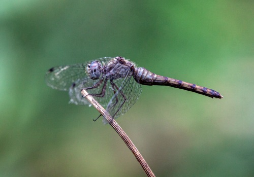 Blue-faced Meadowhawk