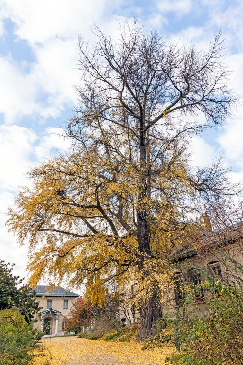 Gingko tree in Paris