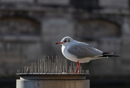 gull on the Seine
